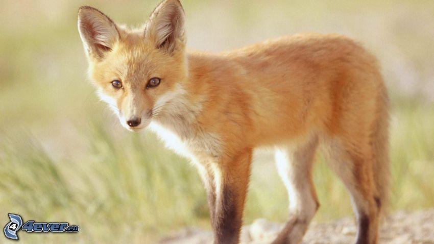 small fox, cub