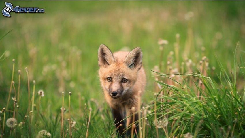 small fox, flowering dandelions