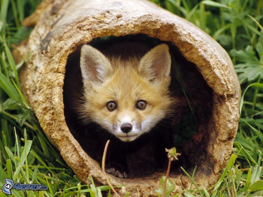 small fox, grass