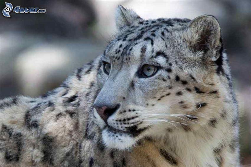 snow leopard, look