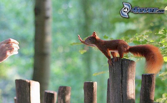 squirrel, palings