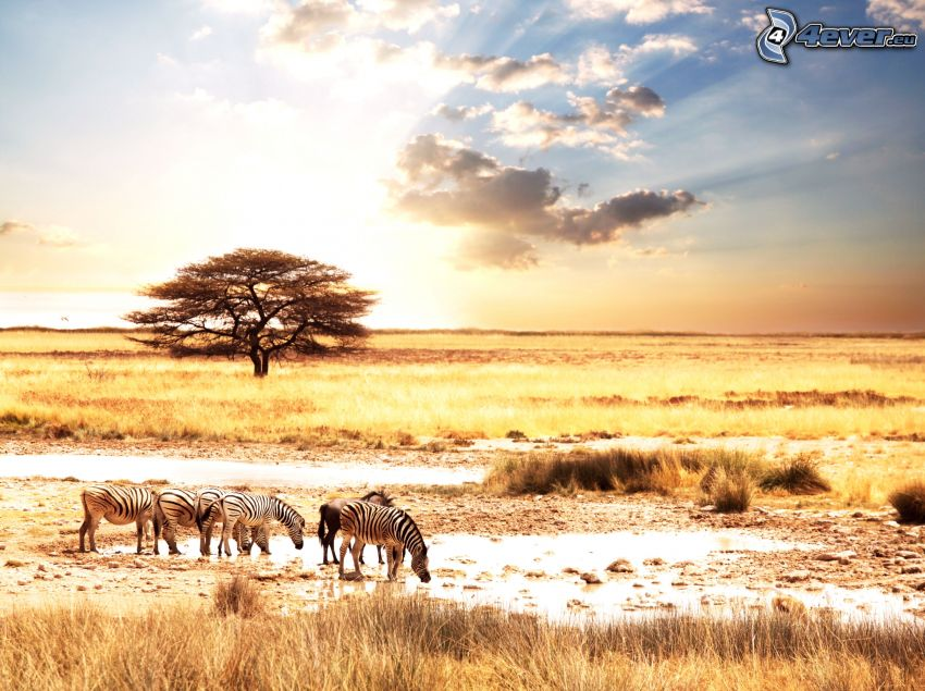 sunset on the savannah, zebras, steppes, lonely tree, sun