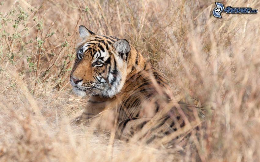 tiger, dry grass
