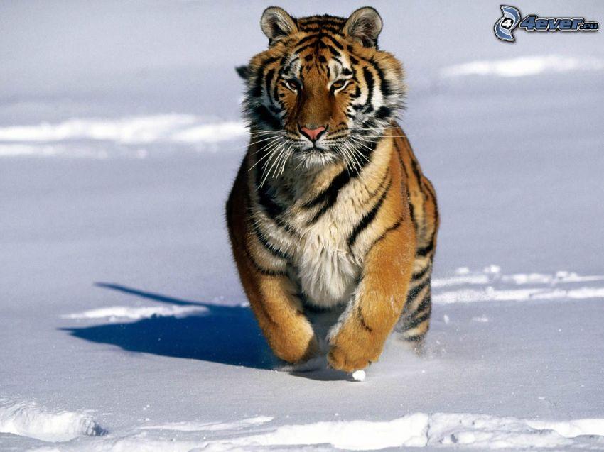 tiger, snow, running, winter