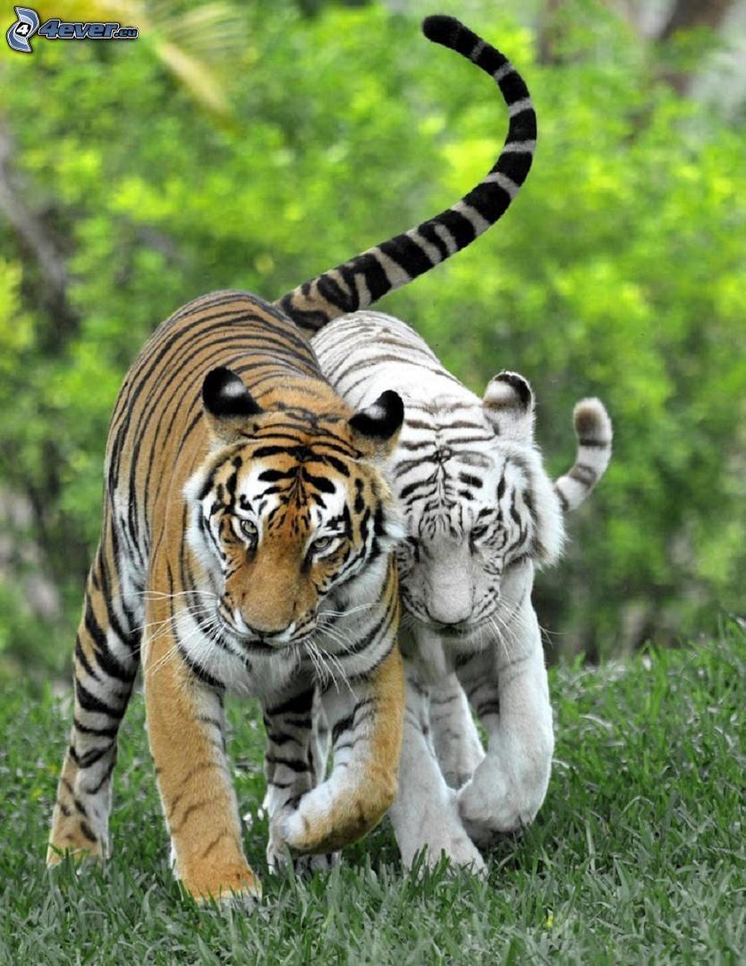 tiger, white tiger