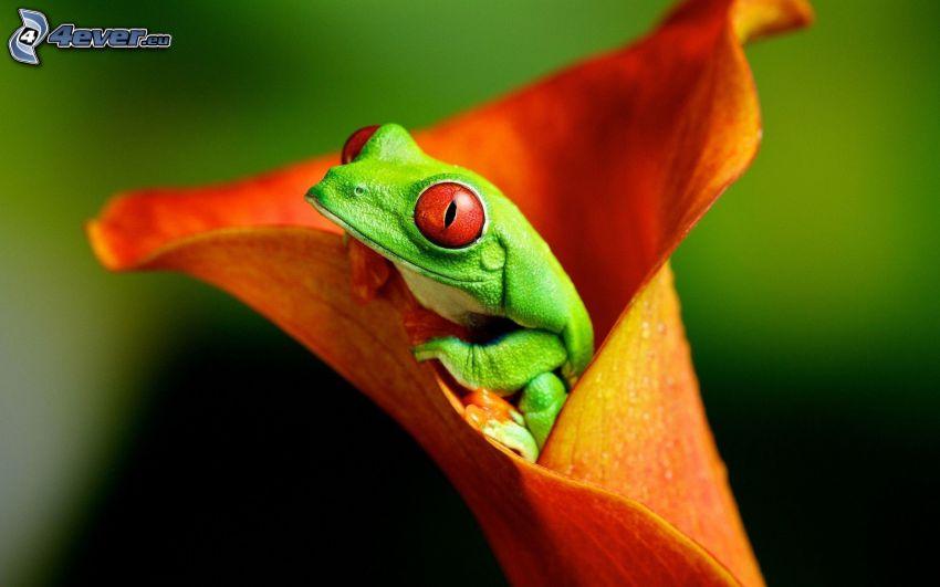 tree-frog, orange flower