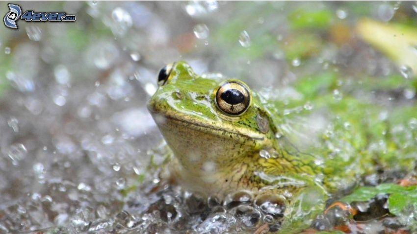 tree-frog, water