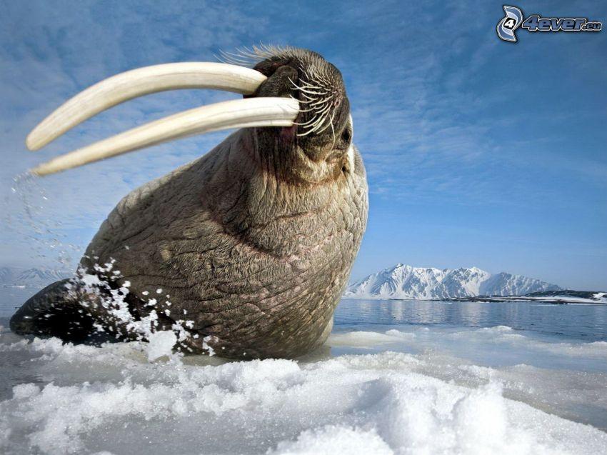 walrus, glacier