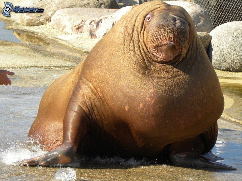 walrus, rocks, ZOO