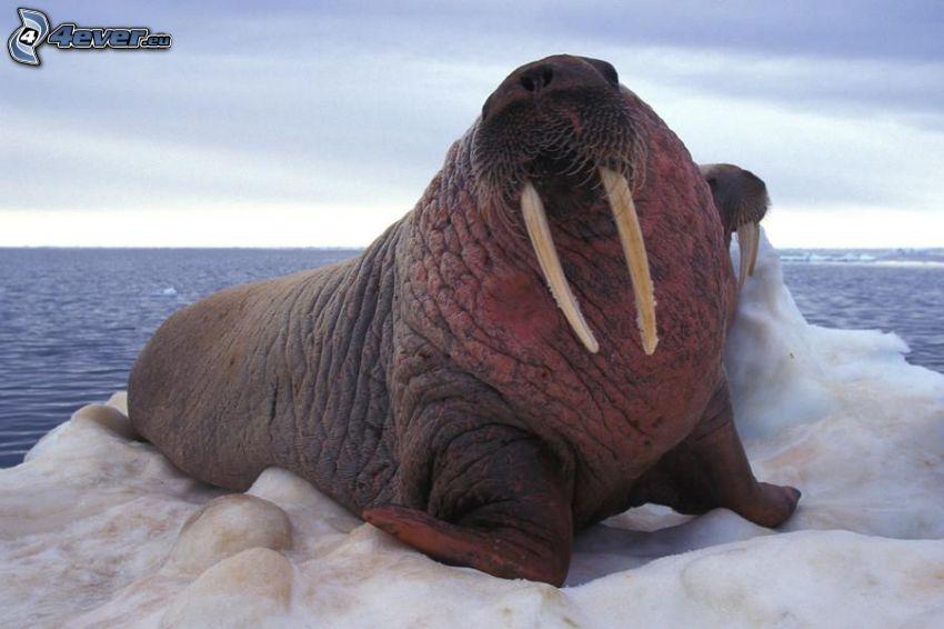 walruses, ice floe, open sea