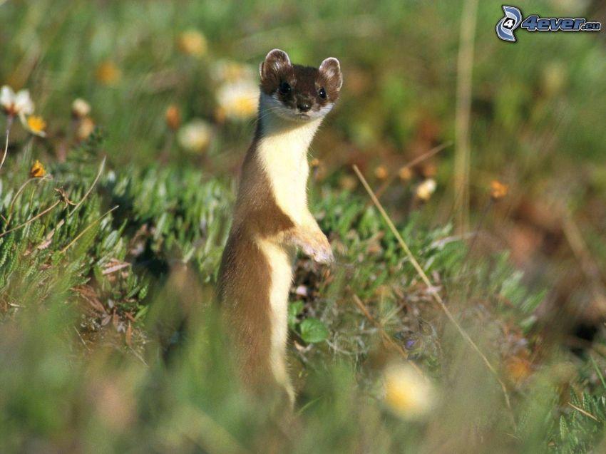 weasel, grass