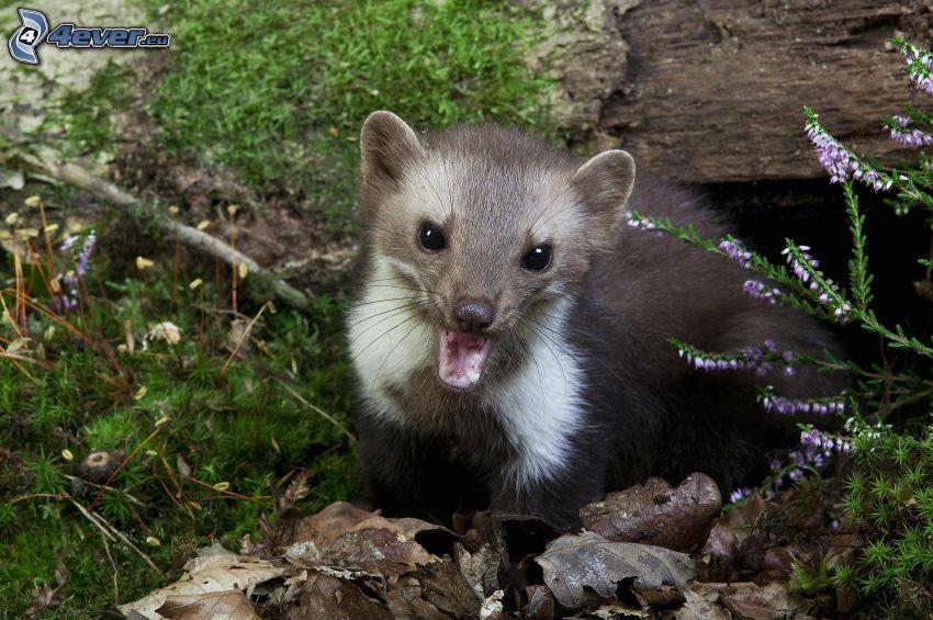 weasel, moss