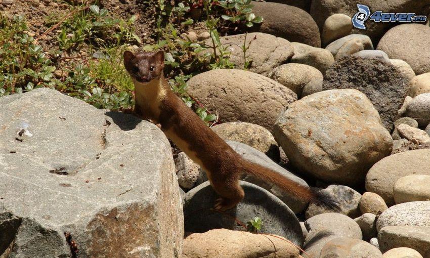 weasel, rocks