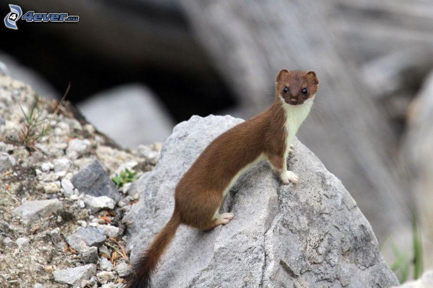 weasel, stone