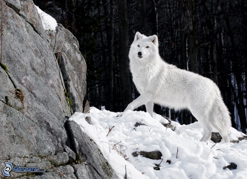 white wolf, rock, snow