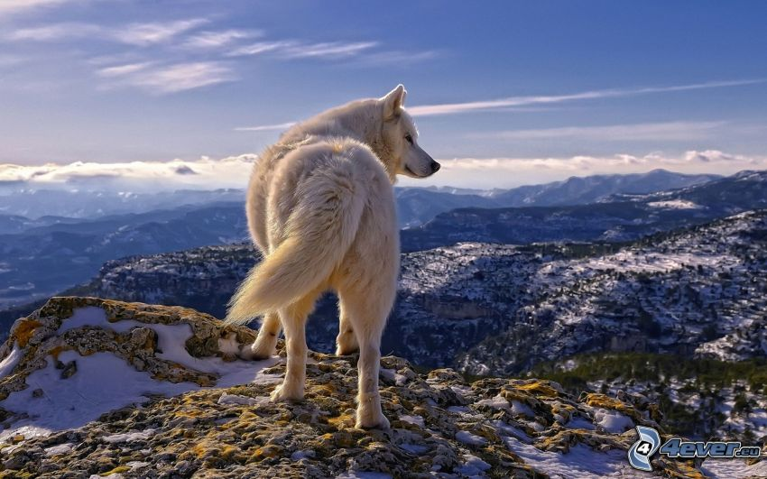 white wolf, view of the landscape