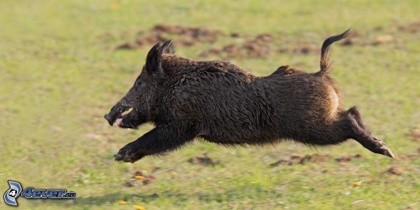 wild boar, jump