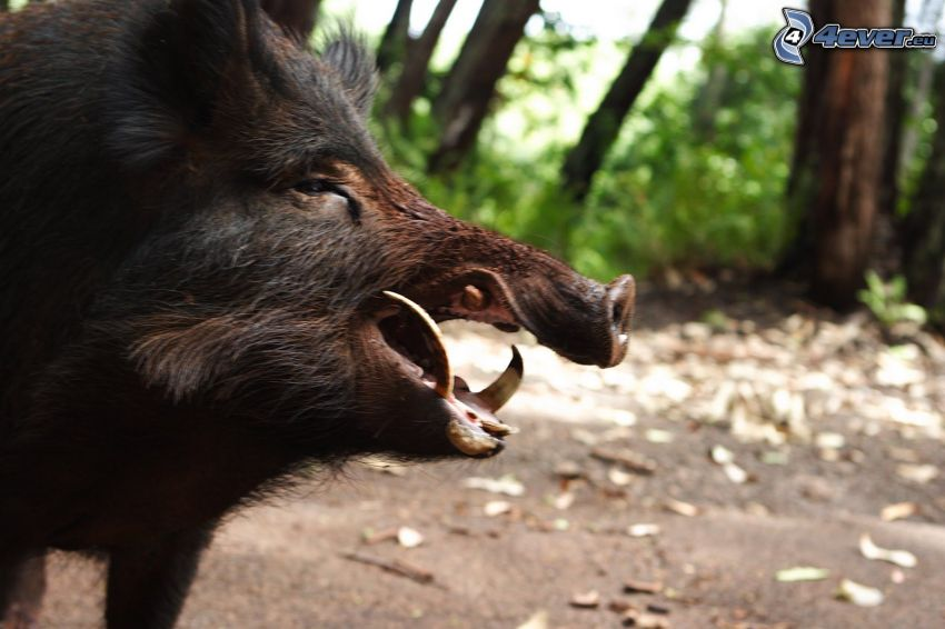 wild boar, teeth