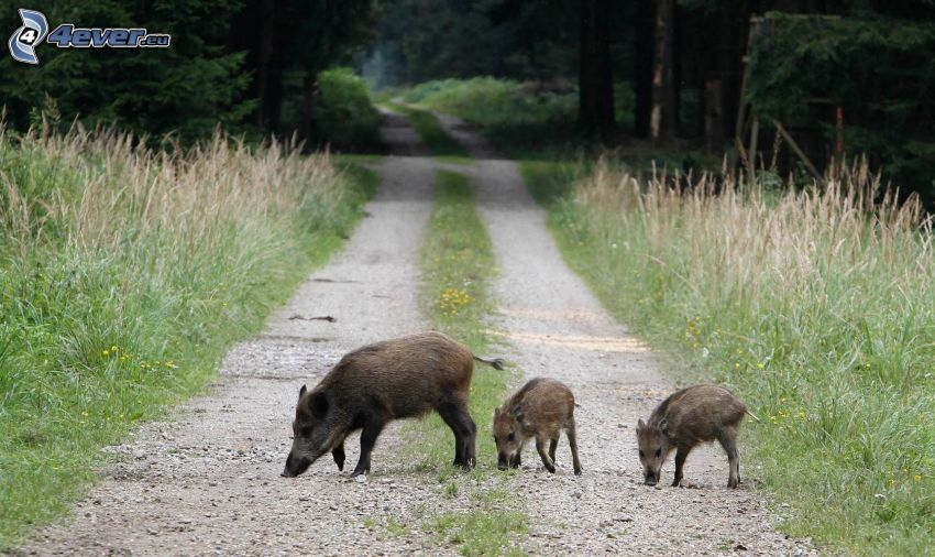 wild boars, cubs, forest road