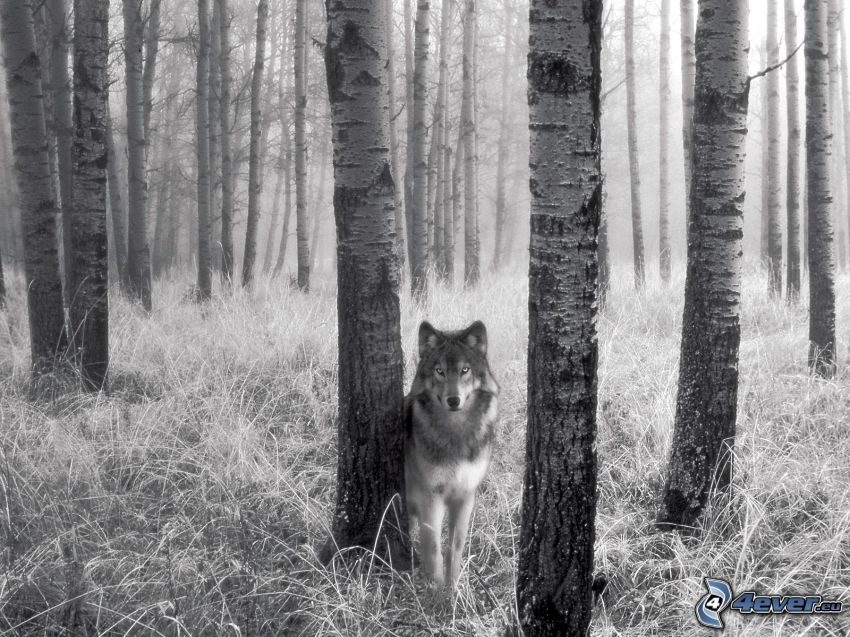 wolf, birch forest, grass, logs