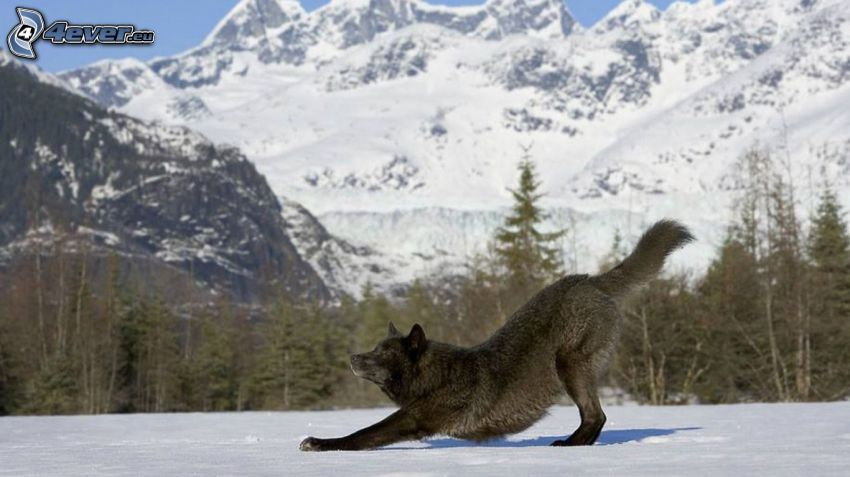wolf, snowy mountains