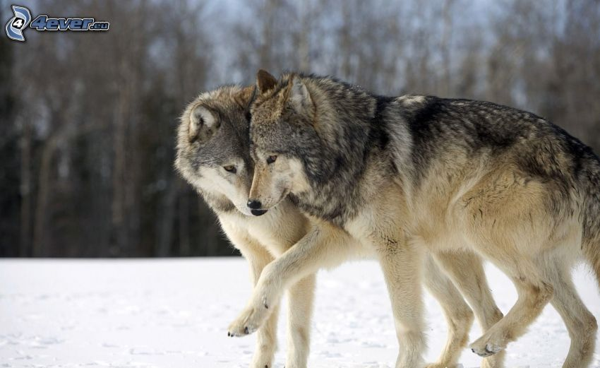wolves, couple, snow