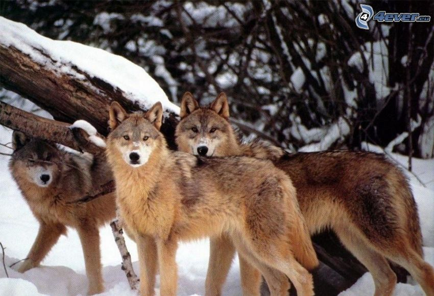 wolves, snow