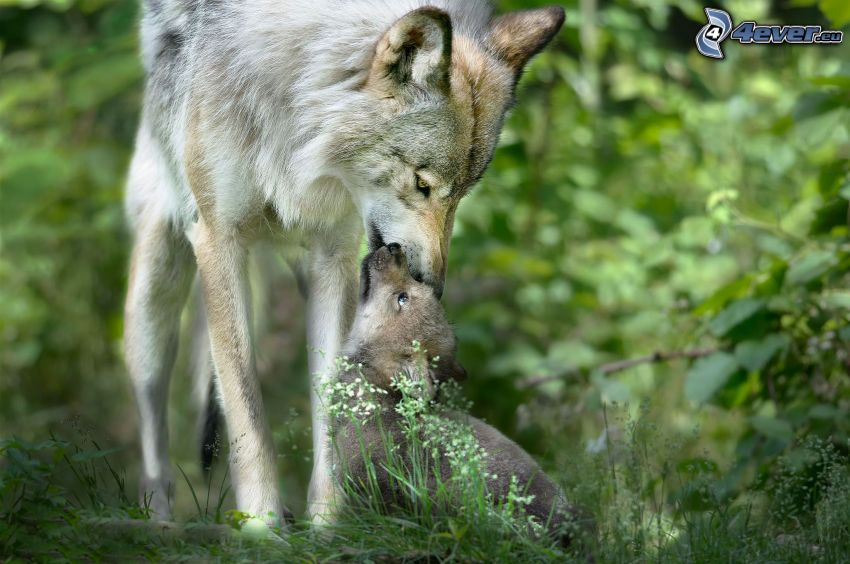 wolves, wolf cub