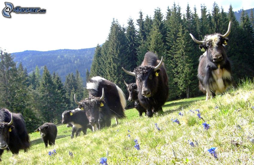 yaks, coniferous forest
