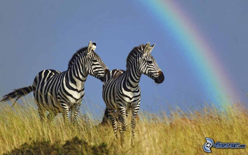 zebras, rainbow