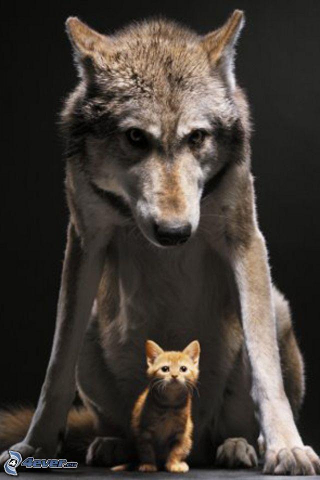 wolf, small ginger kitten