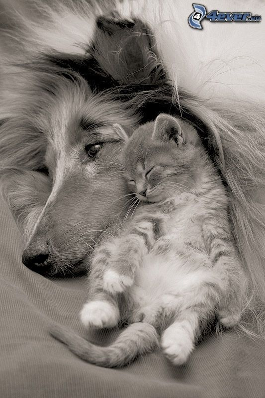 dog and cat, sleeping kitten, friendship, comfort