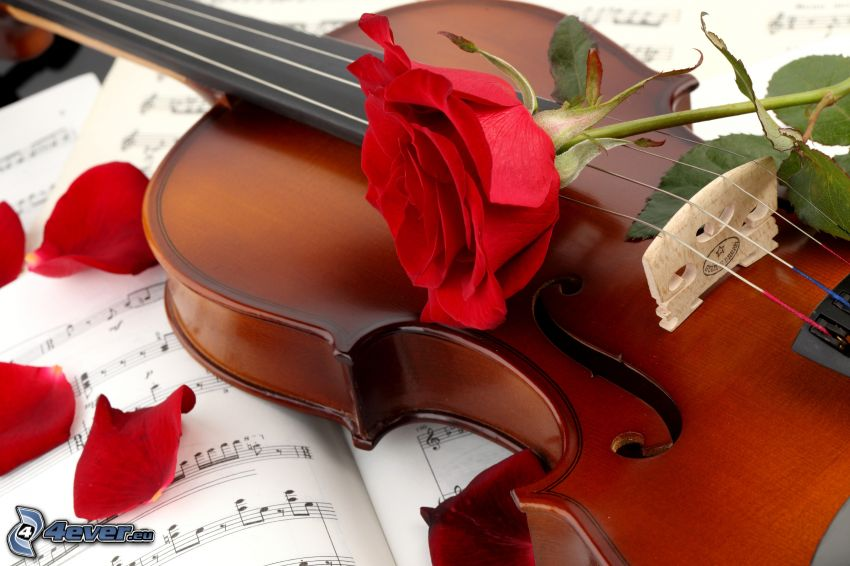 violin, rose, sheet of music
