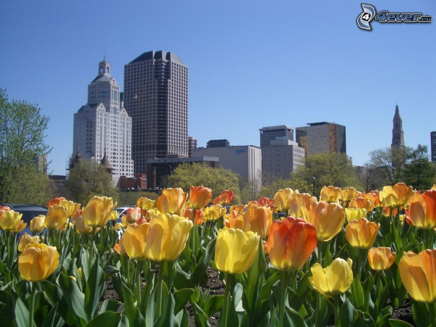 Hartford, Connecticut, USA, tulips