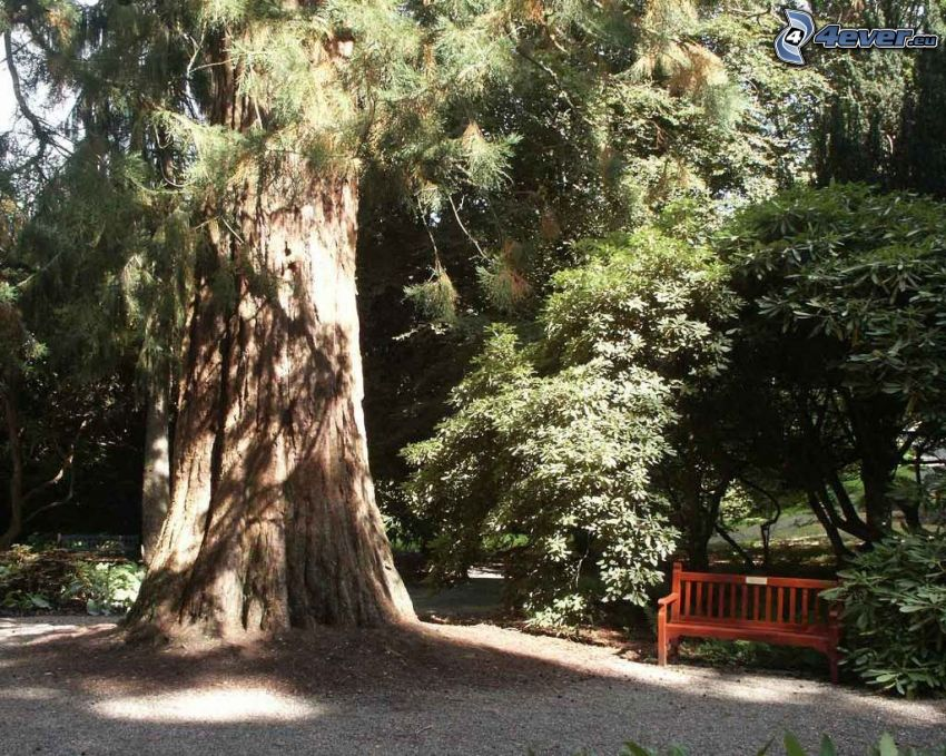 bench under the tree, huge tree, park, forest, sequoia