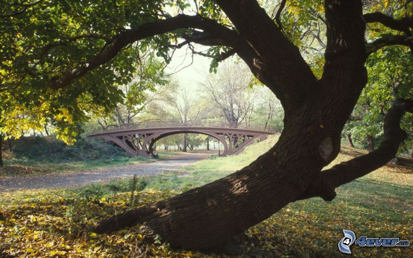 Central Park, deciduous tree, bridge, dry leaves
