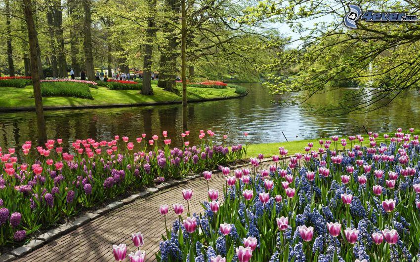 park, tulips, River