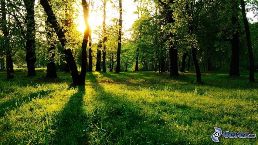 sunset in forest, park, lawn, trees
