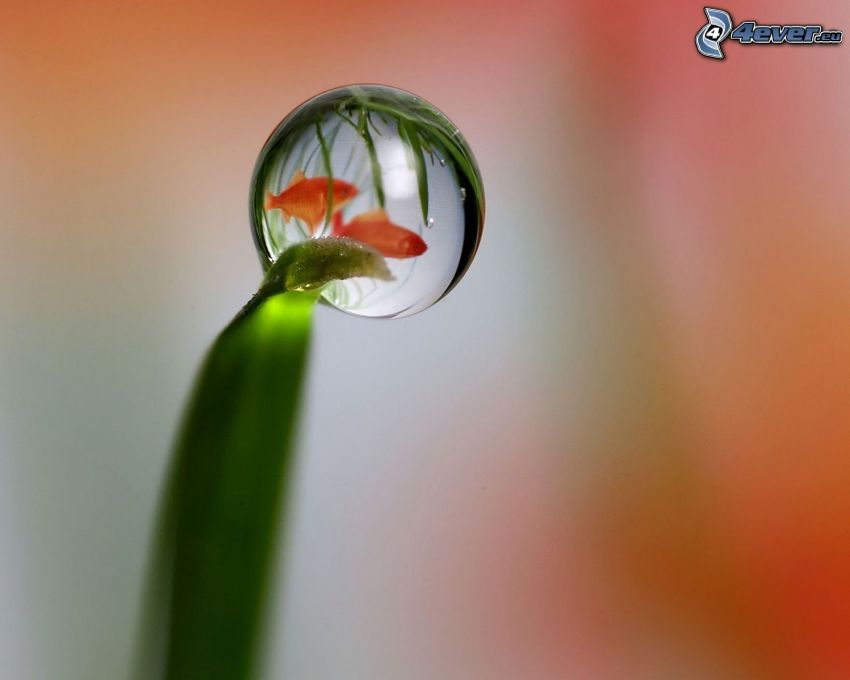 drop of water, blade, fish