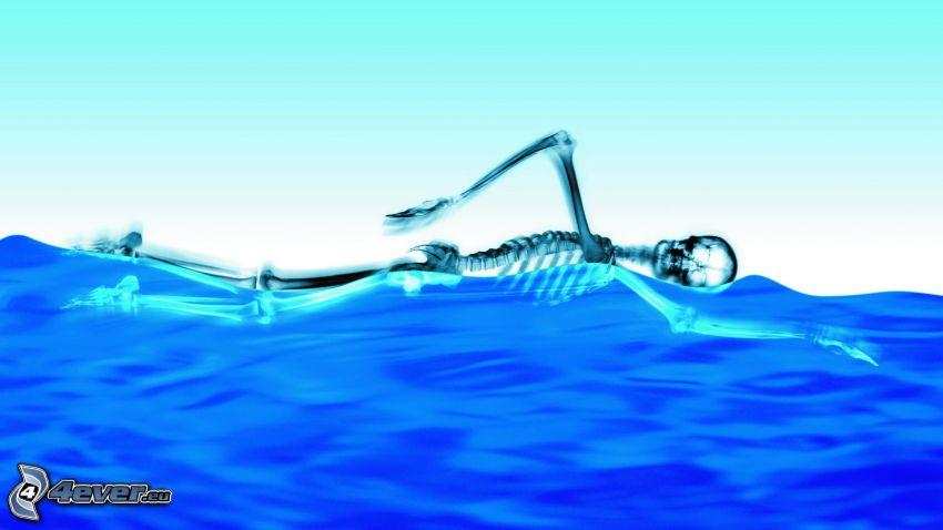 skeleton, swimming