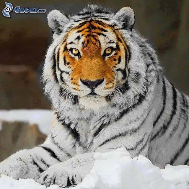 tiger, snow, Photoshop