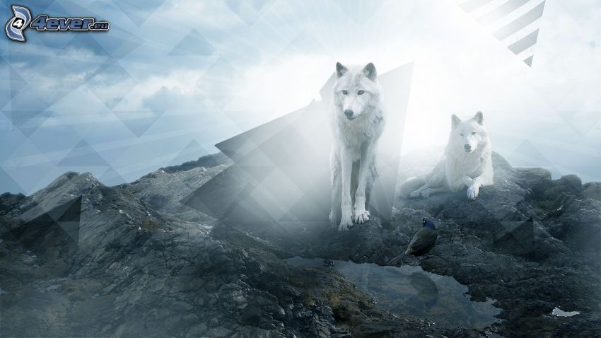 white wolves, triangles, rocks