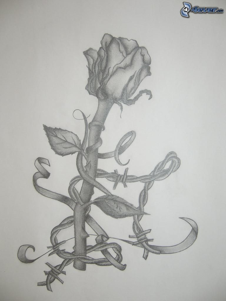 rose, drawing
