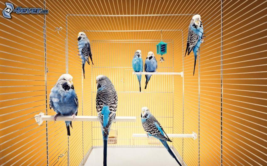 parrots, cage