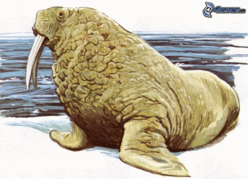walrus, sea