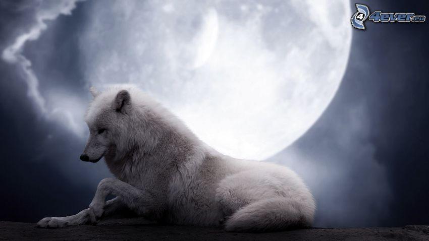 white wolf, full moon