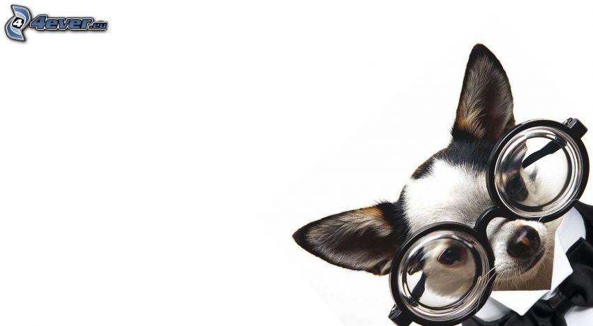 Chihuahua, glasses