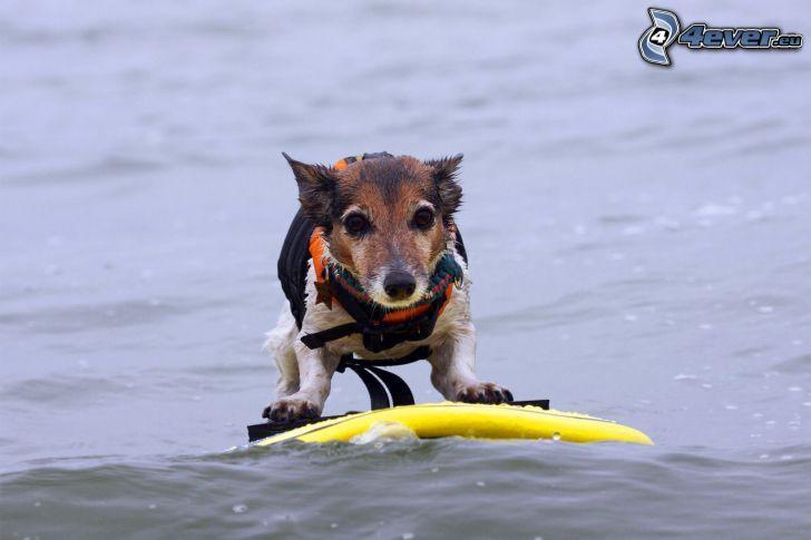 dog, surfing