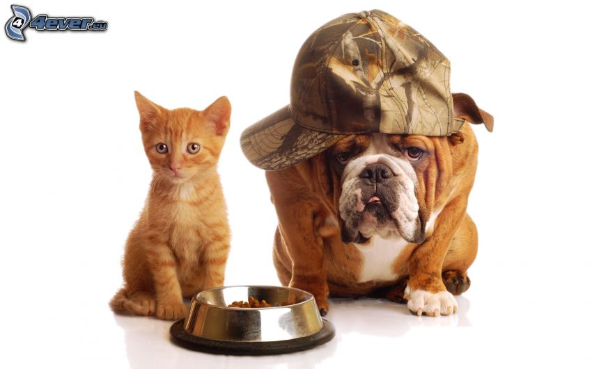 dog and cat, brown kitten, English bulldog, cap, bowl, food