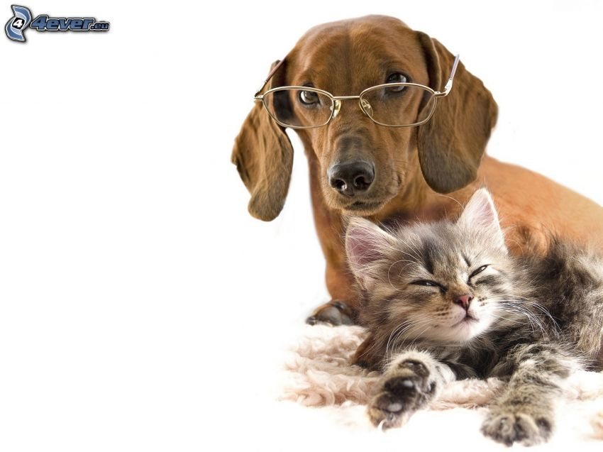 dog and cat, glasses